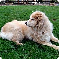 Adopt A Pet :: Vee - Evergreen, CO