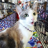 Domestic Shorthair Cat for adoption in Mission Viejo, California - Mitzi