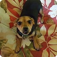 Adopt A Pet :: Priscilla - Knoxville, TN