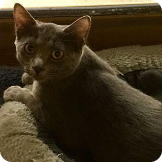 Russian Blue Kitten for adoption in Houston, Texas - Macy