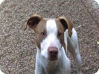 Pointer Mix Dog for adoption in Missoula, Montana - MAYNARD