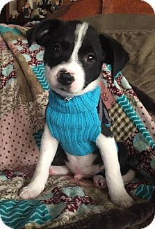 Terrier (Unknown Type, Small) Mix Puppy for adoption in Fort Atkinson, Wisconsin - Spike