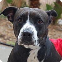 Adopt A Pet :: Brie - Las Vegas, NV