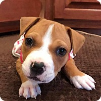 Adopt A Pet :: Bubbles - Charlotte, NC