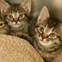 Adopt A Pet :: KITTENS - FEMALE - LaGrange Park, IL