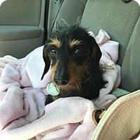Adopt A Pet :: Hailey - Omaha, NE