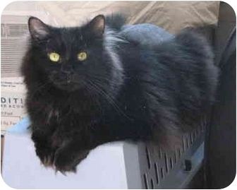 Domestic Longhair Cat for adoption in Cincinnati, Ohio - Rachel