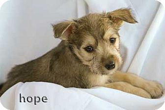 Scottie, Scottish Terrier/Shepherd (Unknown Type) Mix Puppy for adoption in Mission Viejo, California - Hope