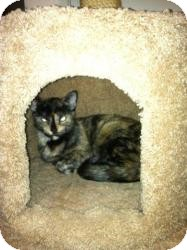 Domestic Shorthair Cat for adoption in Gilbert, Arizona - Mercy