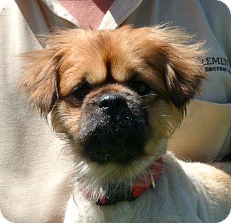 Pekingese Mix Dog for adoption in white settlment, Texas - Buster