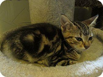American Shorthair Kitten for adoption in Richland, Michigan - Joy