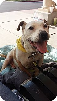 Pit Bull Terrier/Terrier (Unknown Type, Medium) Mix Dog for adoption in Fowler, California - Ruby