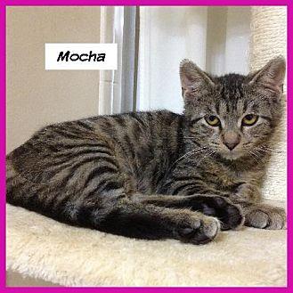 Domestic Shorthair Cat for adoption in Miami, Florida - Mocha