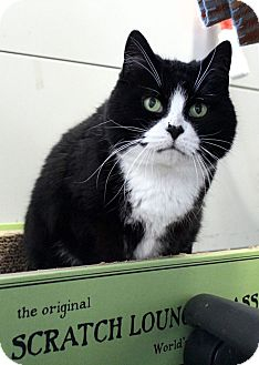 Domestic Mediumhair Cat for adoption in Lowell, Massachusetts - Shayla
