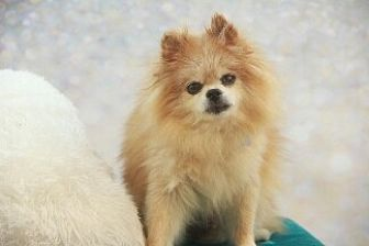 Pomeranian Dog for adoption in Dallas, Texas - Harley Red
