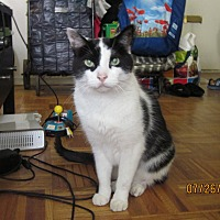 Domestic Shorthair Cat for adoption in Toronto, Ontario - Kevin