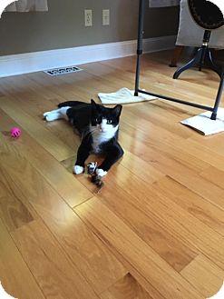 Domestic Shorthair Cat for adoption in Acushnet, Massachusetts - Ellie