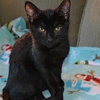 Adopt A Pet :: Sir Kibbles - Middleton, WI