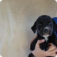 Adopt A Pet :: Sarge - Oviedo, FL