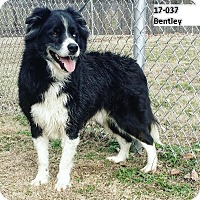 Adopt A Pet :: Bentley - Cannelton, IN