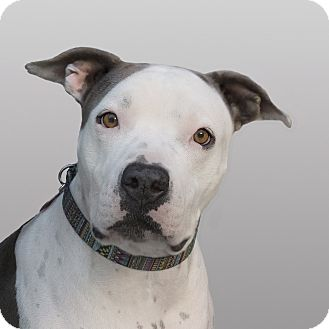 American Staffordshire Terrier Mix Dog for adoption in Los Angeles, California - Lady