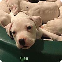 Adopt A Pet :: Spirit - Wichita Falls, TX