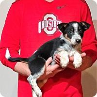 Adopt A Pet :: Storm - South Euclid, OH