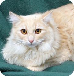 Domestic Longhair Cat for adoption in Sacramento, California - Liam