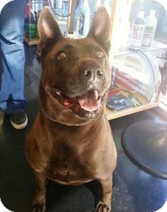 Rhodesian Ridgeback Mix Dog for adoption in Tustin, California - Dusty