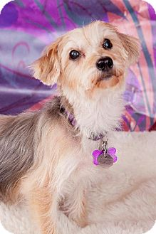 Silky Terrier Dog for adoption in Elizabethtown, Pennsylvania - Pixie