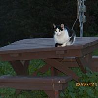 Domestic Mediumhair Cat for adoption in Benton, Pennsylvania - Louie