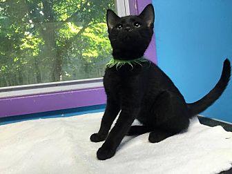 Domestic Shorthair Cat for adoption in Stevensville, Maryland - Rider