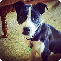 Adopt A Pet :: Dab - Lakeville, MN