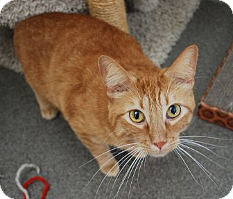 Domestic Shorthair Cat for adoption in Council Bluffs, Iowa - Ginger