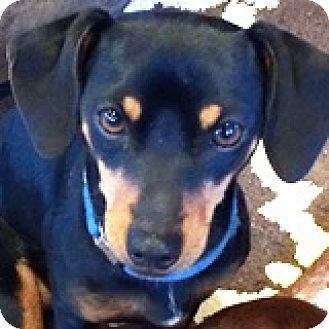Dachshund/Chihuahua Mix Dog for adoption in Houston, Texas - Garrison Glider