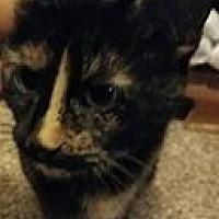 Adopt A Pet :: Vanilla Been - Arlington/Ft Worth, TX
