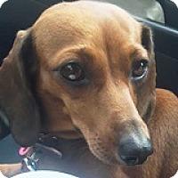 Adopt A Pet :: Sandy Sensodyne - Houston, TX