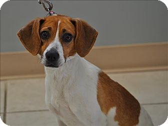 Beagle/Terrier (Unknown Type, Medium) Mix Dog for adoption in Osage Beach, Missouri - Ayla