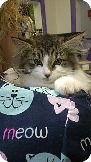 Domestic Longhair Kitten for adoption in Richboro, Pennsylvania - Nicki Minaj