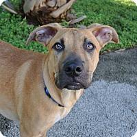 Adopt A Pet :: Yogi - Austin, TX