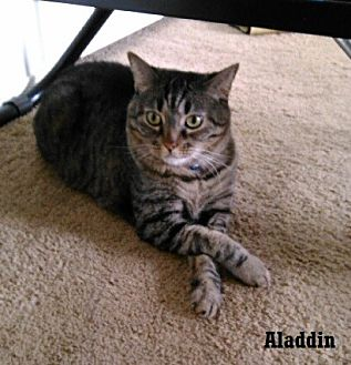 Domestic Shorthair Cat for adoption in Fullerton, California - Aladdin