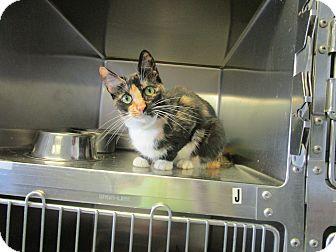 Calico Cat for adoption in DeRidder, Louisiana - Callie
