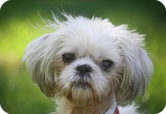 Shih Tzu Mix Dog for adoption in New York, New York - Bailey