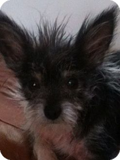 Terrier (Unknown Type, Small) Mix Dog for adoption in Beverly Hills, California - Antonio
