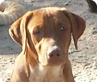 Black Mouth Cur/Labrador Retriever Mix Puppy for adoption in Preston, Connecticut - Sawyer AD 12-10-16