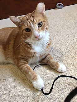 Domestic Shorthair Cat for adoption in Naples, Florida - Copper