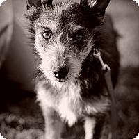 Adopt A Pet :: Baxter TM - Schertz, TX