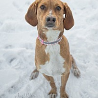 Adopt A Pet :: Lacey - Drumbo, ON