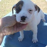 Adopt A Pet :: Bandit - Bonifay, FL