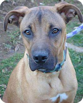 Rhodesian Ridgeback Mix Puppy for adoption in Red Bluff, California - Radar
